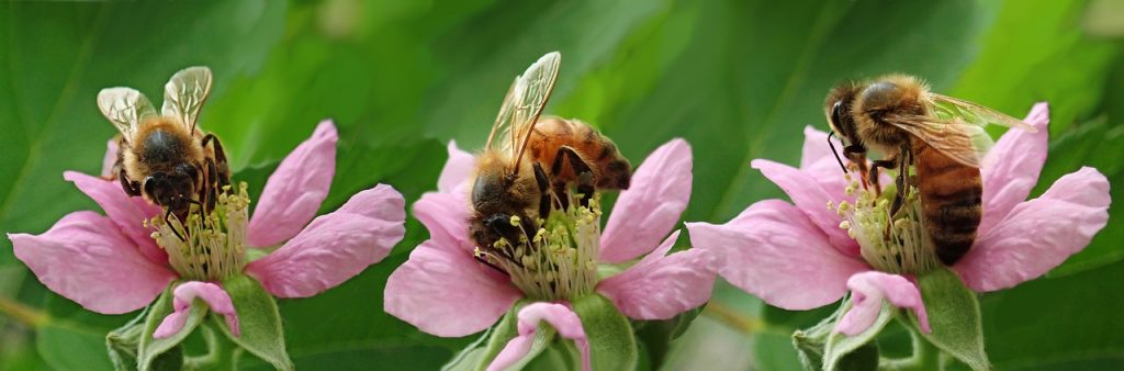 bees, insects, blossom-4003580.jpg